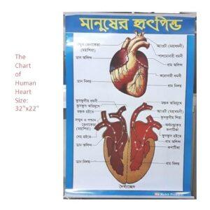 Chart of Human Heart 32×22 Inch