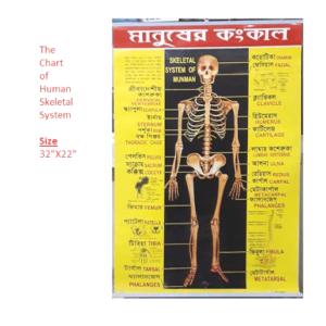 Chart of Human Skeletal System