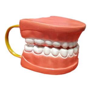 Dental Care Model 32 Teeth