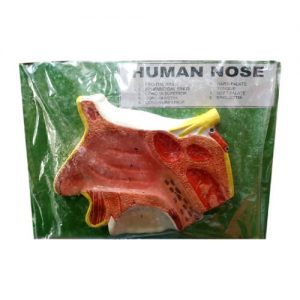 Human Nose Model On Board