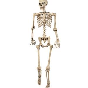 Human Skeleton 5 Feet Indian