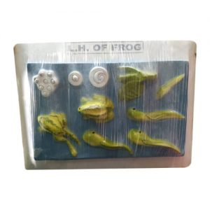 Life Cycle of Frog Model on Board