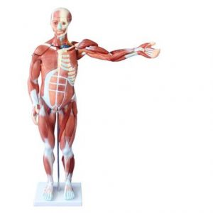 80CM HUMAN MUSCLE MODEL MALE (27 PARTS)