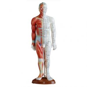 Acupuncture & Muscle Model 55CM Male